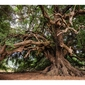 Stare drzewo - plakat wymiar do wyboru: 40x30 cm