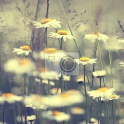Fototapeta daisy kwiaty w stylu vintage
