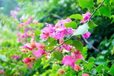 Fototapeta kwiat Egiptu Bugenwilla FP 484