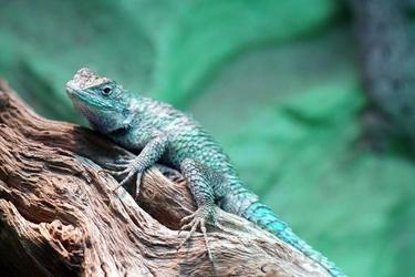 Fototapeta zielona jaszczurka fp 2814