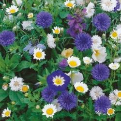 Kwiaty biało-niebieskie – mix nasion na taśmie – kiepenkerl