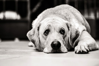 Fototapeta smutny pies leżący na dywanie fp 2599