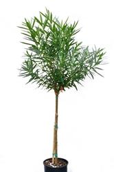 Oleander duże drzewo