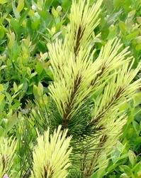 Sosna górska rositech złote przyrosty