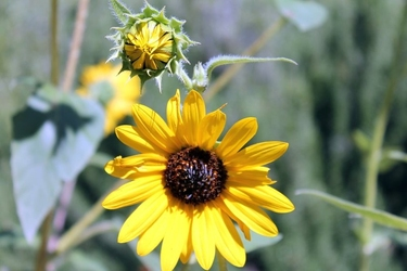 Fototapeta dwa słoneczniki fp 502