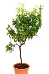 Klementynka duże drzewo