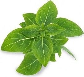 Wkład nasienny lingot zioła nietypowe bazylia karłowa