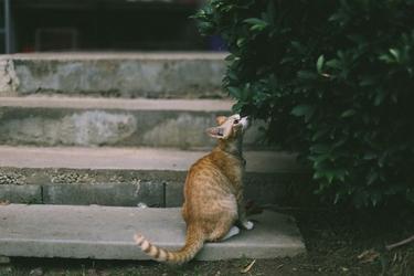 Fototapeta na ścianę rudy kot wąchający krzak fp 4885