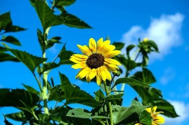 Fototapeta mały ozdobny słonecznik fp 504
