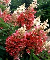 Hortensja biało czerwona pinky winky sadzonki