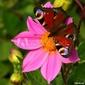 Obraz na płótnie canvas motyl i kwiat
