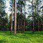 Fototapeta czarujący las sosnowy fp 1776