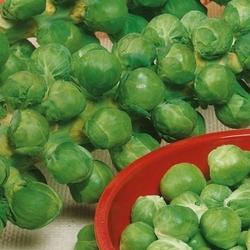 Brukselka roodnerf – nasiona kiepenkerl