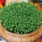 Rzeżucha cressida – ogrodowa – kiepenkerl