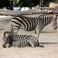 Fototapeta zebry na wybiegu fp 2584