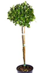 Laur, wawrzyn szlachetny drzewo