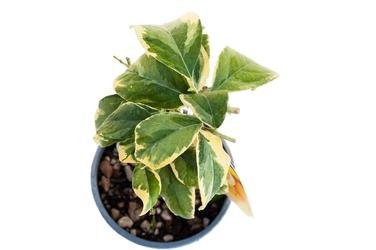 Cytryna variegata krzew