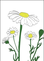 Rumianek - plakat wymiar do wyboru: 61x91,5 cm
