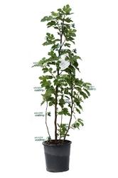Figa pospolita ogromny krzew
