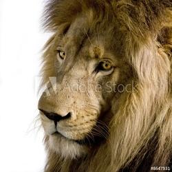 Obraz na płótnie canvas czteroczęściowy tetraptyk lew 4 i pół roku - panthera leo