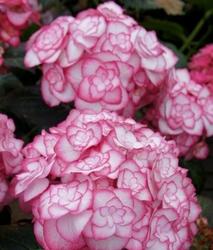 Ciemnolistna hortensja miss saori urocze piękno