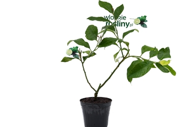 Cytryna prążkowana krzew