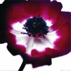 Bordowy Kwiat - reprodukcja