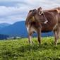 Fototapeta krowa na pastwisku fp 2440