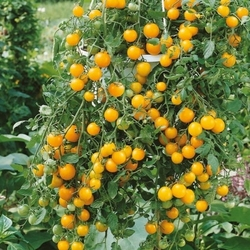 Pomidor tumbling tom yellow – cherry – nasiona kiepenkerl