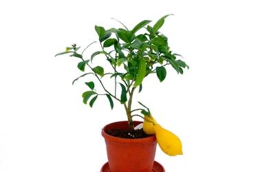 Lima mak nao san duży krzew