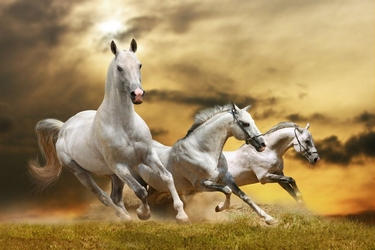 Fototapeta konie 884s