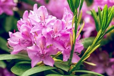 Fototapeta na ścianę kwitnący rododendron fp 630