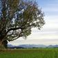 Fototapeta na ścianę wielkie drzewo na łace fp 1710