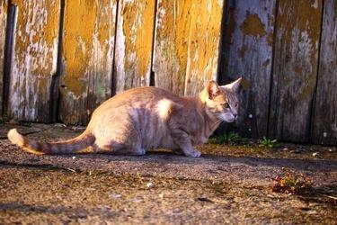 Fototapeta kot w trakcie polowania fp 2915