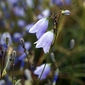 Fototapeta drobne polne dzwoneczki fp 538