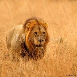 Obraz na płótnie canvas czteroczęściowy tetraptyk lew w rezerwach sabi piaski, republika południowej afryki