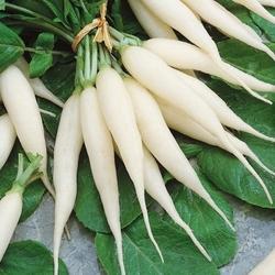 Rzodkiewka vitus – biała podłużna – nasiona kiepenkerl