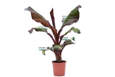 Bananowiec ensete maurelii duże drzewko