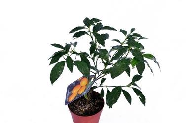 Kumkwat margarita krzew