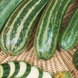 Cukinia coucourzelle – nasiona kiepenkerl