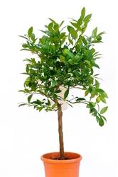 Limequat drzewko