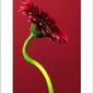 Single gerbera red - plakat premium