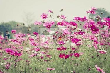 Fototapeta kosmos kwiat w polu