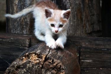 Fototapeta mały kot chodzący po drewnie fp 2850