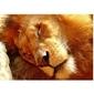 Śpiący lew - reprodukcja