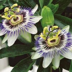 Passiflora męczennica – nasiona – kiepenkerl
