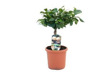 Limetta pursha małe drzewko