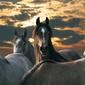 Konie - fototapeta