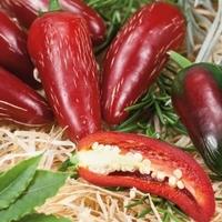 Papryka chili fundador f1 – kiepenkerl