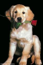 Golden Retriever - Piesek z Czerwoną Różą - plakat